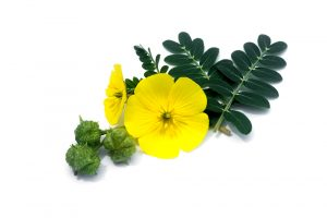 Tribulus Terrestris is a natural testosterone booster like the ingredients found in Malegenix pills